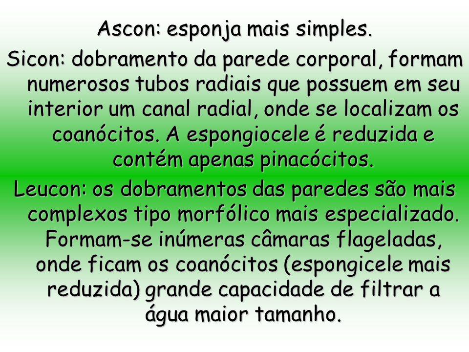 Ascon: esponja mais simples.