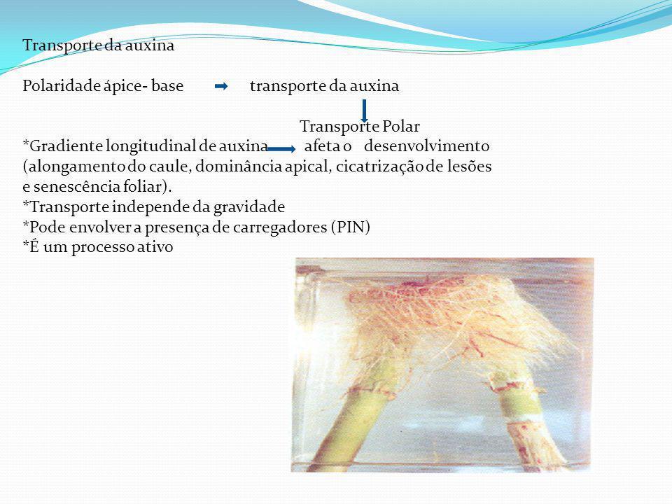 Transporte da auxina Polaridade ápice- base transporte da auxina. Transporte Polar.