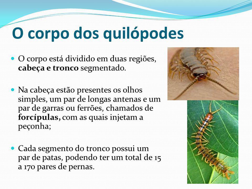O corpo dos quilópodes O corpo está dividido em duas regiões, cabeça e tronco segmentado.