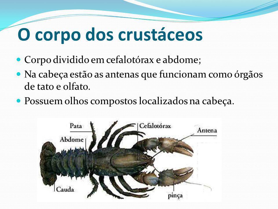 O corpo dos crustáceos Corpo dividido em cefalotórax e abdome;