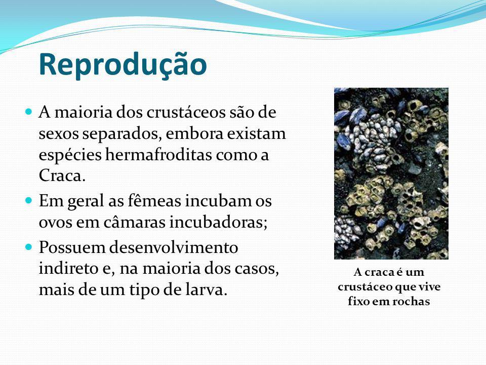 A craca é um crustáceo que vive fixo em rochas