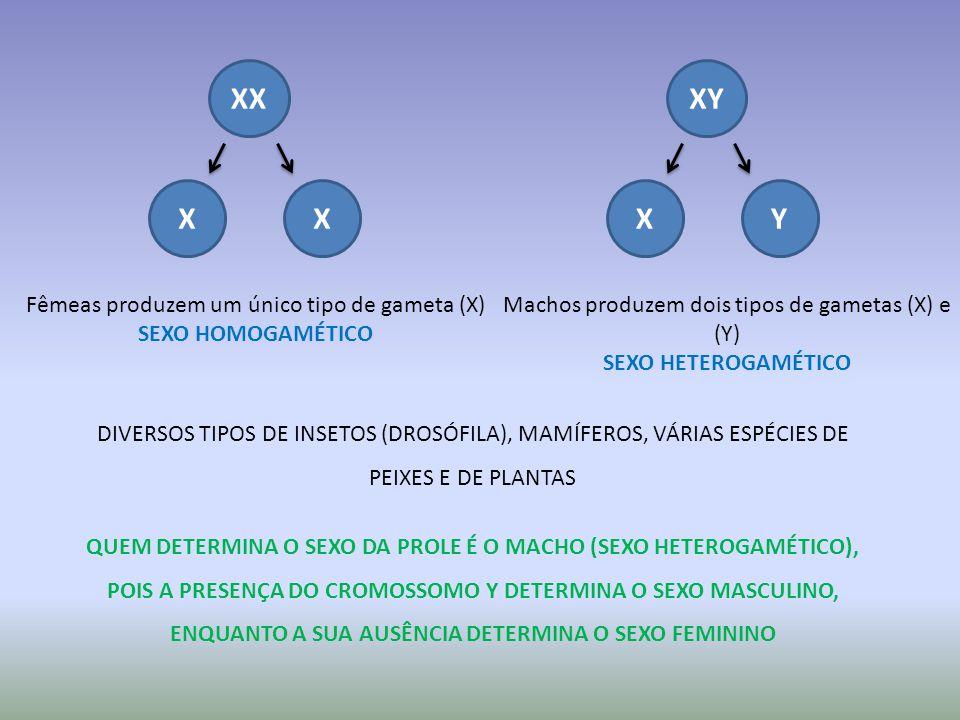 XX X XY X Y Fêmeas produzem um único tipo de gameta (X)