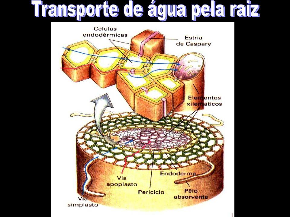 Transporte de água pela raiz