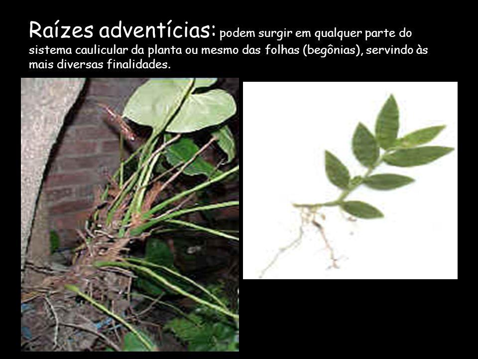Raízes adventícias: podem surgir em qualquer parte do sistema caulicular da planta ou mesmo das folhas (begônias), servindo às mais diversas finalidades.
