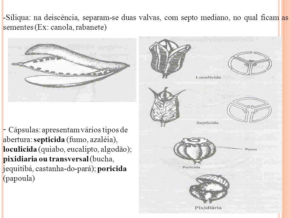 Síliqua: na deiscência, separam-se duas valvas, com septo mediano, no qual ficam as sementes (Ex: canola, rabanete)