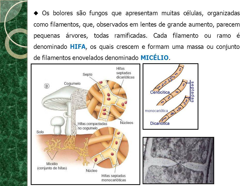  Os bolores são fungos que apresentam muitas células, organizadas como filamentos, que, observados em lentes de grande aumento, parecem pequenas árvores, todas ramificadas.