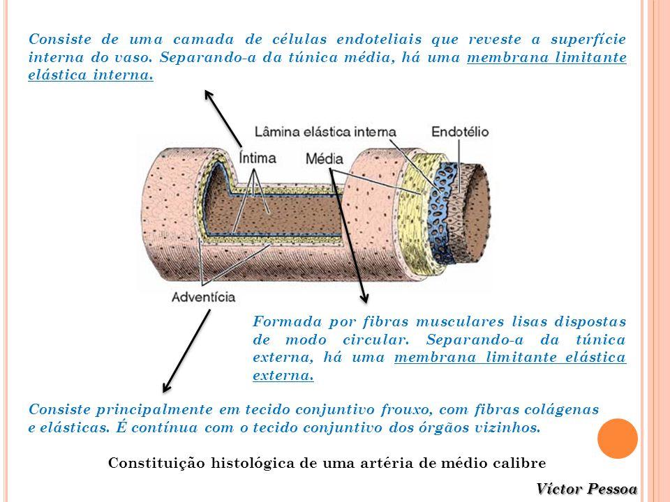 Constituição histológica de uma artéria de médio calibre