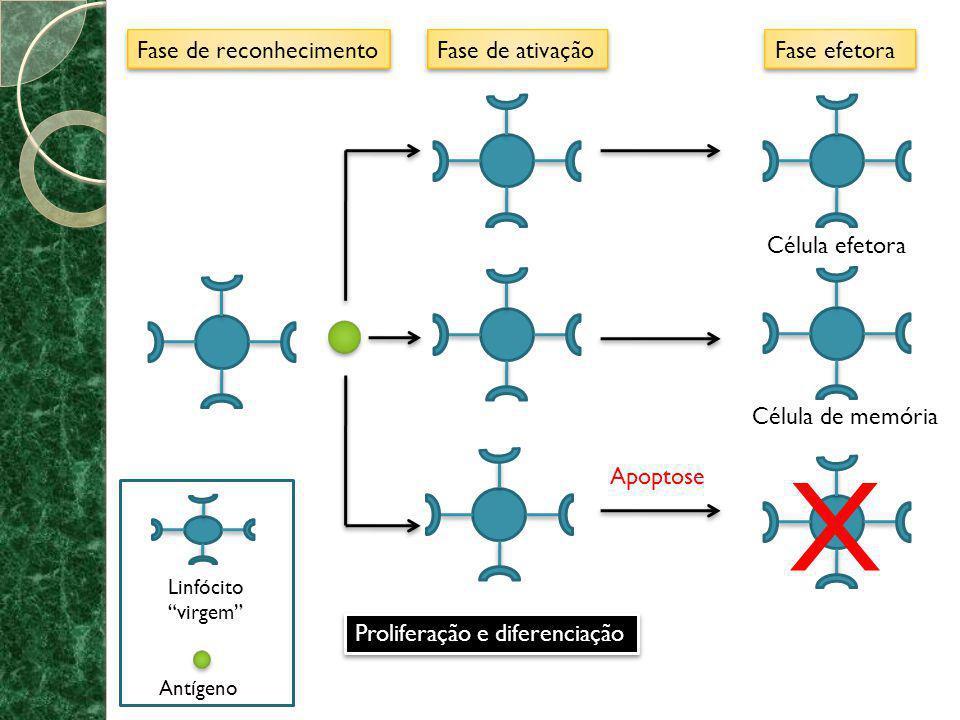 X Fase de reconhecimento Fase de ativação Fase efetora Célula efetora