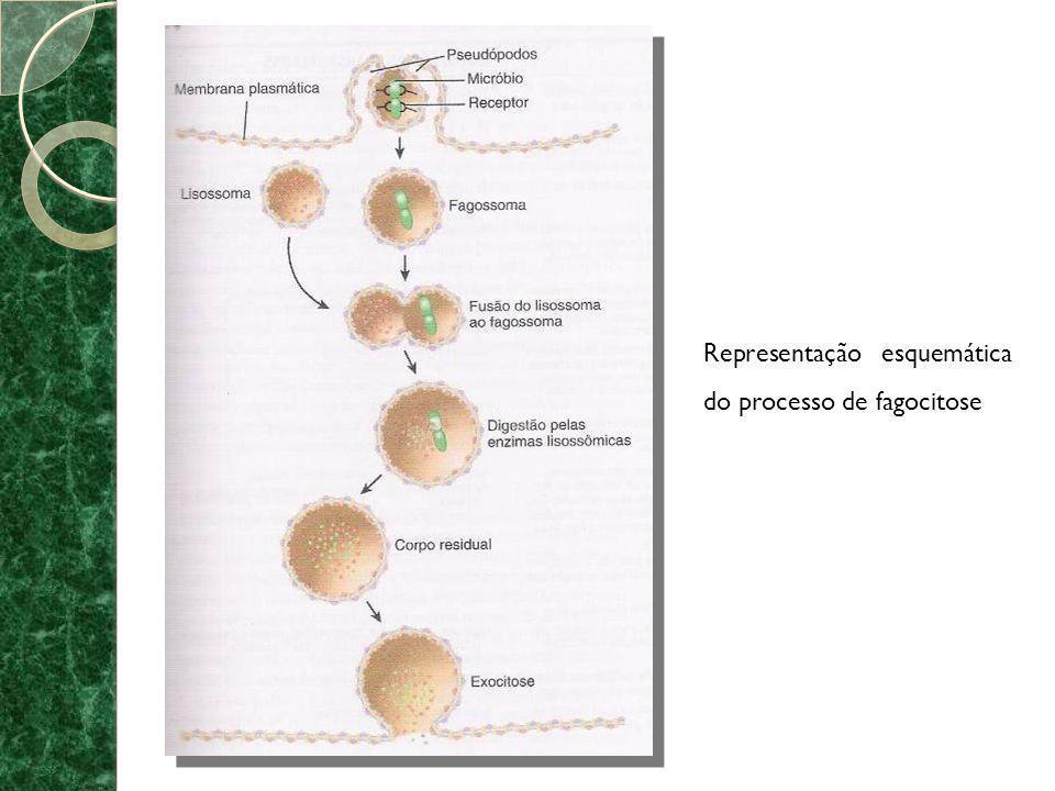 Representação esquemática do processo de fagocitose