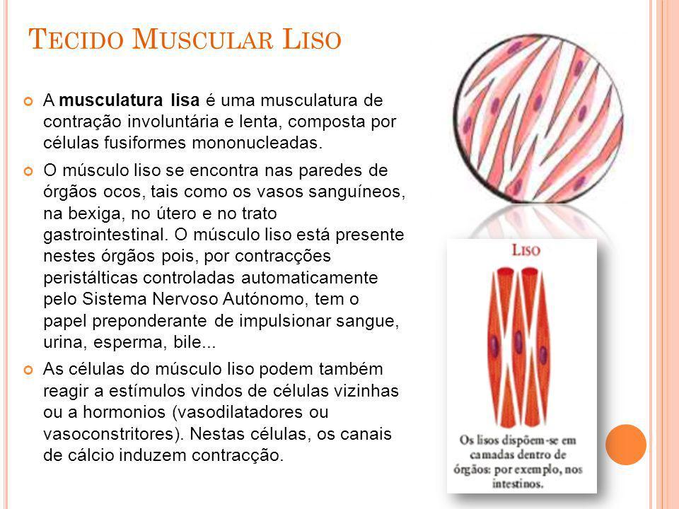Tecido Muscular Liso A musculatura lisa é uma musculatura de contração involuntária e lenta, composta por células fusiformes mononucleadas.
