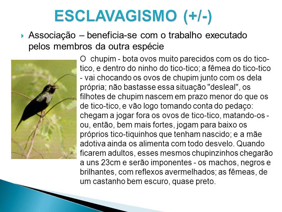 ESCLAVAGISMO (+/-) Associação – beneficia-se com o trabalho executado pelos membros da outra espécie.