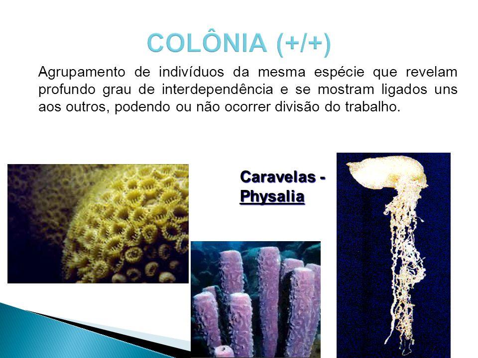 COLÔNIA (+/+) Caravelas - Physalia
