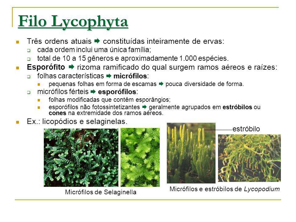 Micrófilos de Selaginella