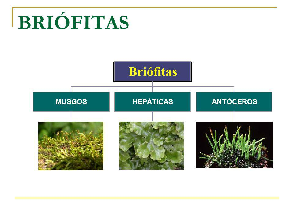 BRIÓFITAS MUSGOS HEPÁTICAS ANTÓCEROS Briófitas