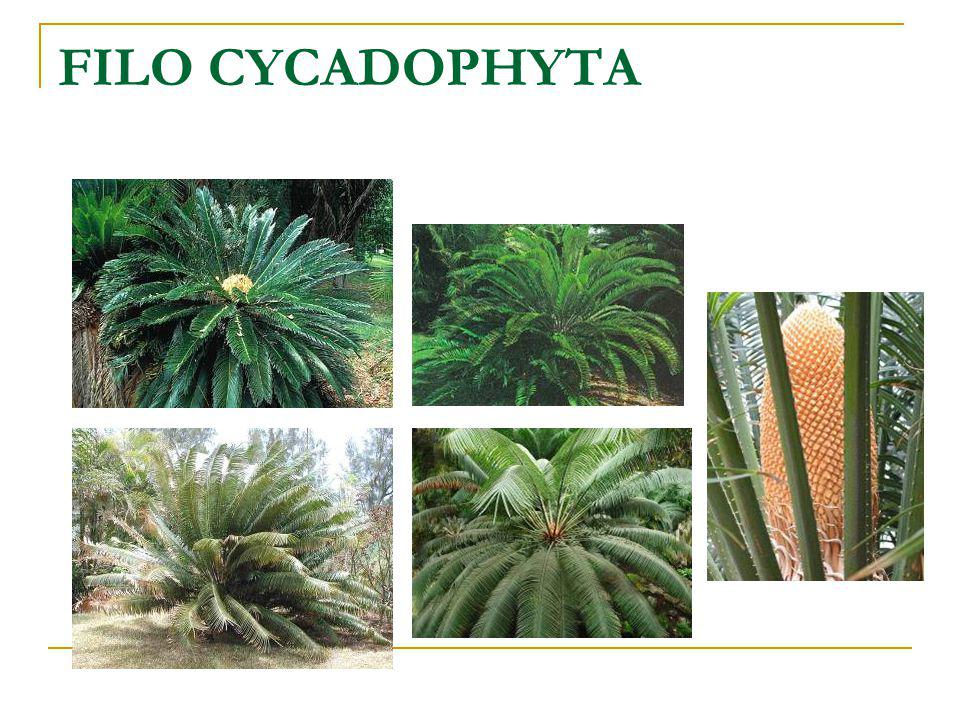 FILO CYCADOPHYTA
