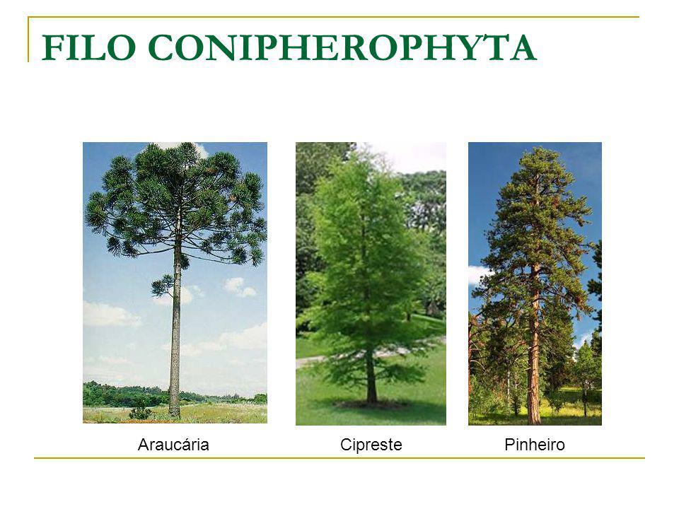 FILO CONIPHEROPHYTA Araucária Cipreste Pinheiro