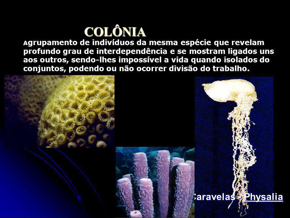 COLÔNIA Caravelas - Physalia