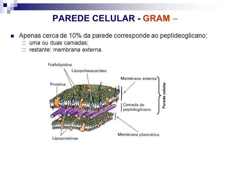 PAREDE CELULAR - GRAM  Apenas cerca de 10% da parede corresponde ao peptideoglicano: uma ou duas camadas;