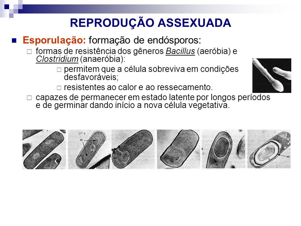 REPRODUÇÃO ASSEXUADA Esporulação: formação de endósporos: