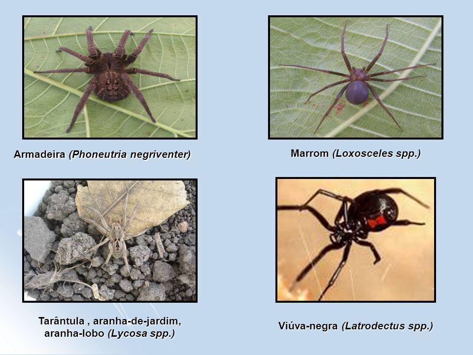 Armadeira (Phoneutria negriventer) Marrom (Loxosceles spp.)