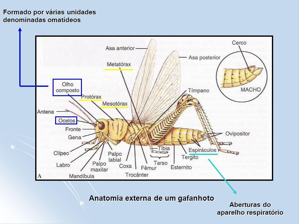 Anatomia externa de um gafanhoto Aberturas do aparelho respiratório