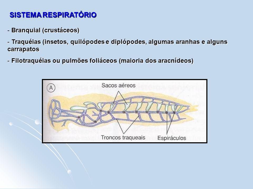 SISTEMA RESPIRATÓRIO Branquial (crustáceos)