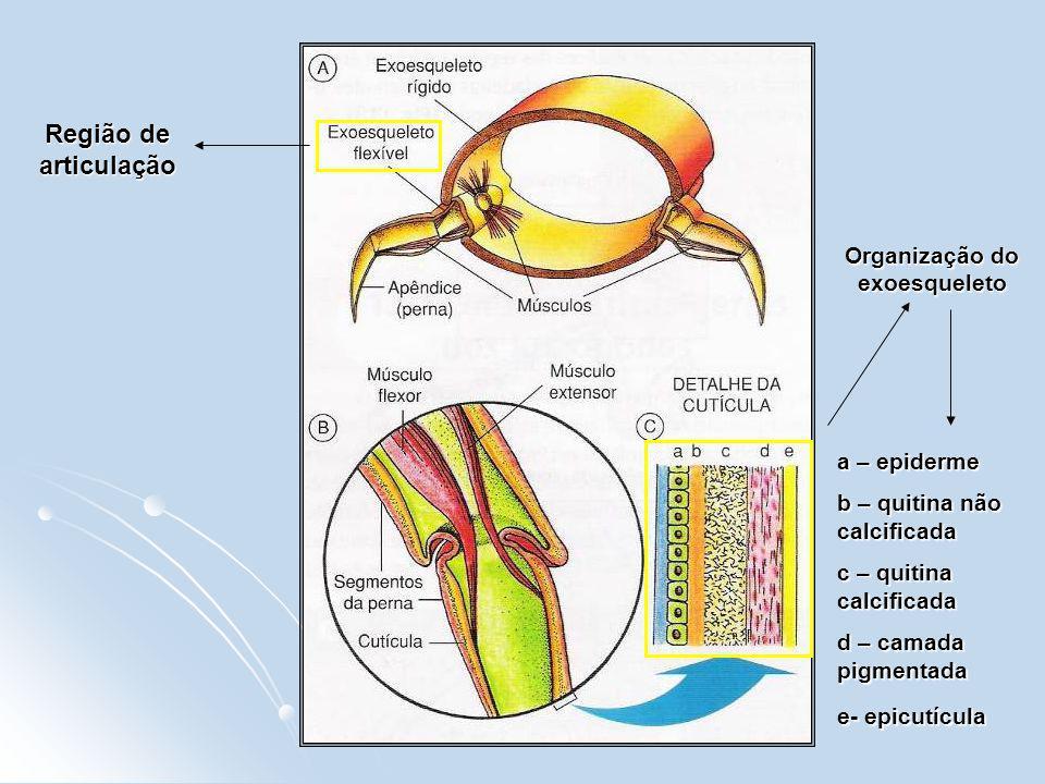 Organização do exoesqueleto