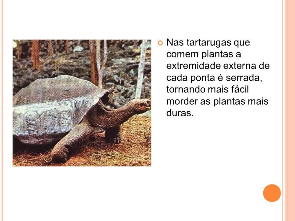 Nas tartarugas que comem plantas a extremidade externa de cada ponta é serrada, tornando mais fácil morder as plantas mais duras.