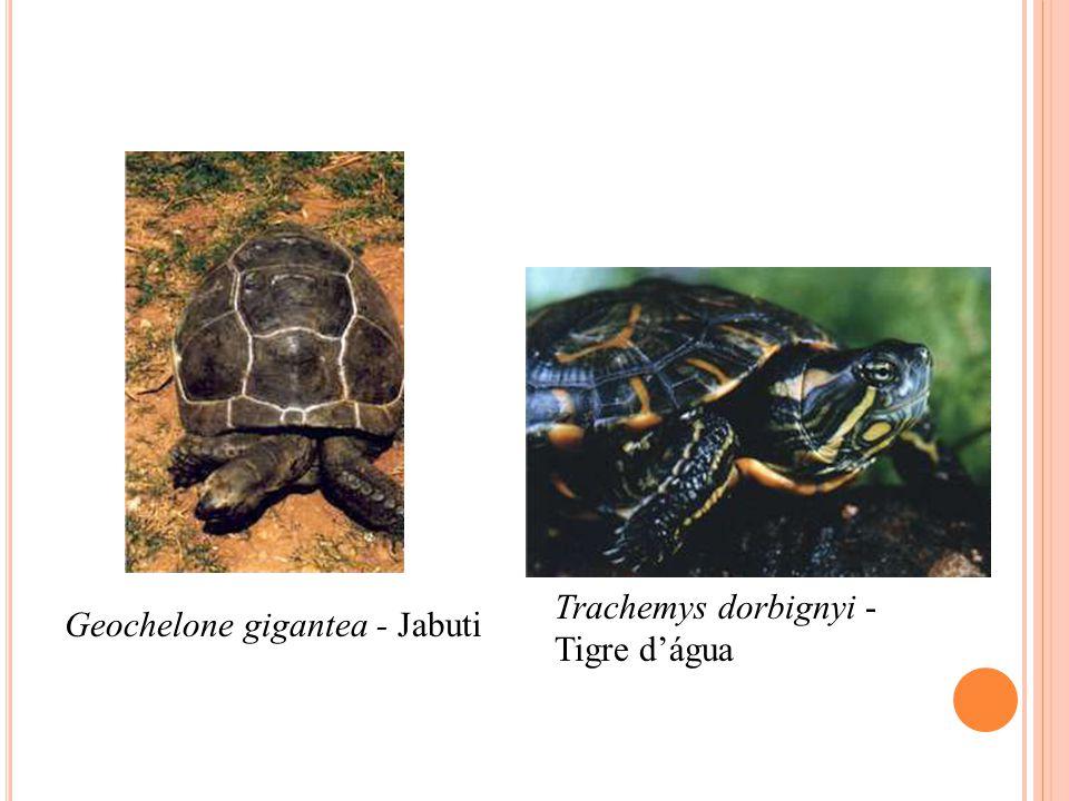Trachemys dorbignyi - Tigre d'água