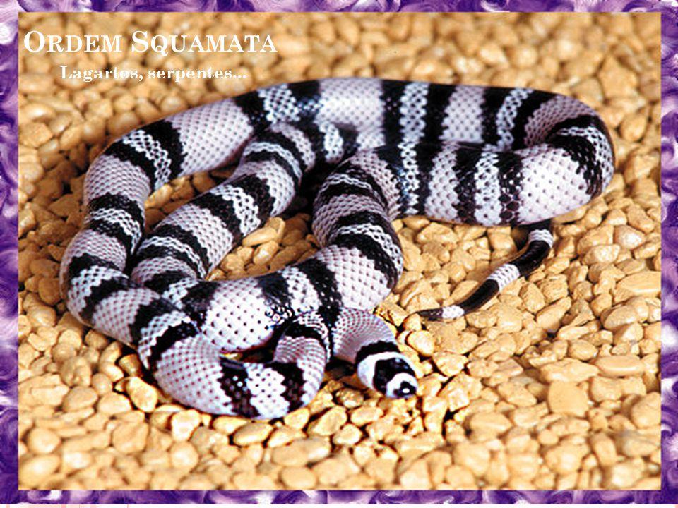 Ordem Squamata Lagartos, serpentes...