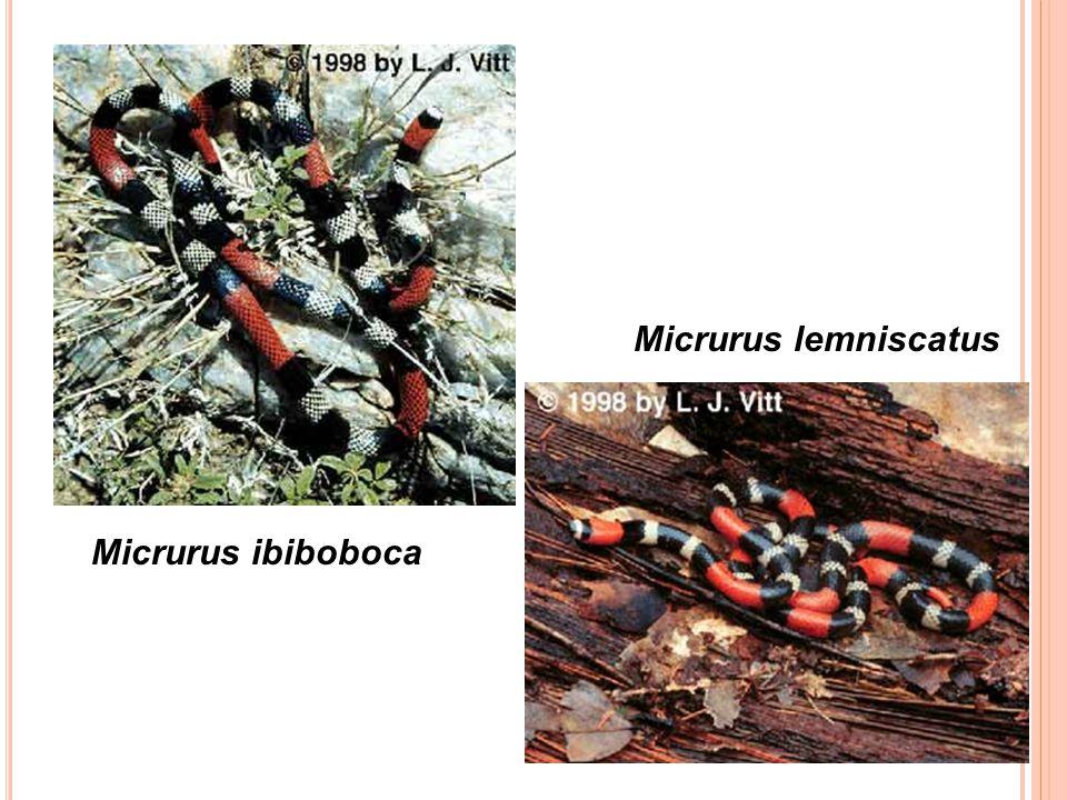 Micrurus lemniscatus Micrurus ibiboboca
