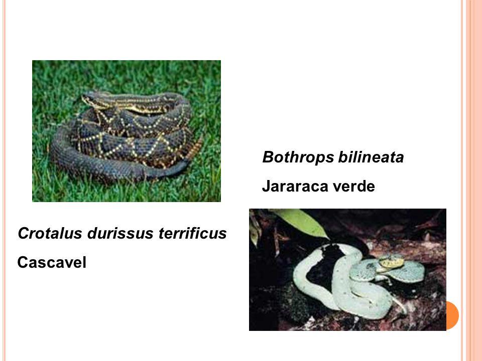 Bothrops bilineata Jararaca verde Crotalus durissus terrificus Cascavel