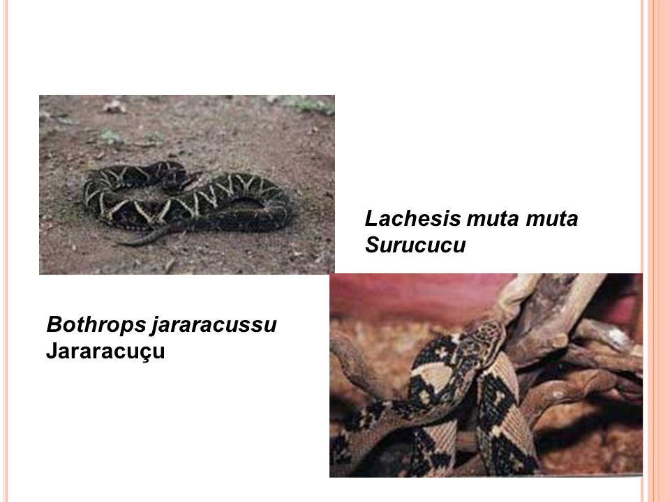 Lachesis muta muta Surucucu