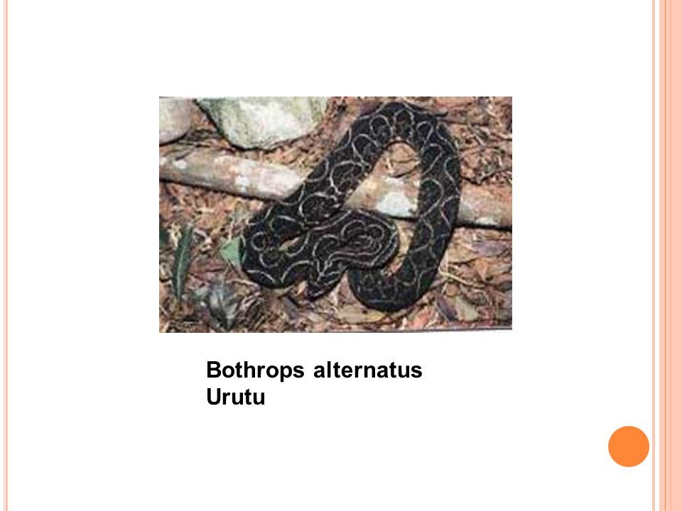 Bothrops alternatus Urutu
