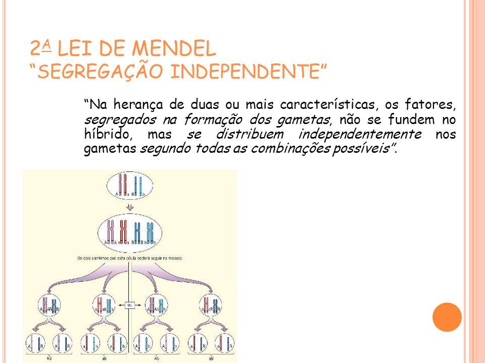 2A LEI DE MENDEL SEGREGAÇÃO INDEPENDENTE