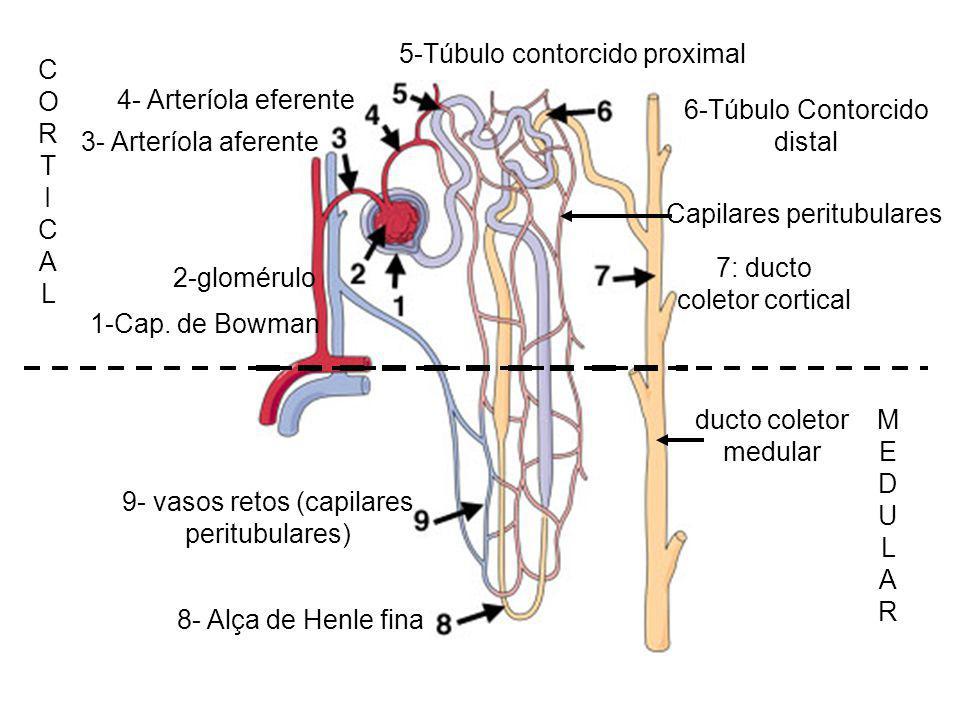 5-Túbulo contorcido proximal C O R T I A L 4- Arteríola eferente
