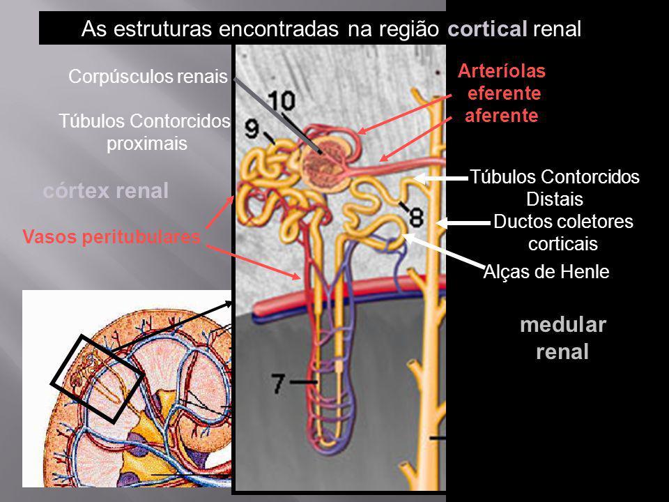 córtex renal medular renal