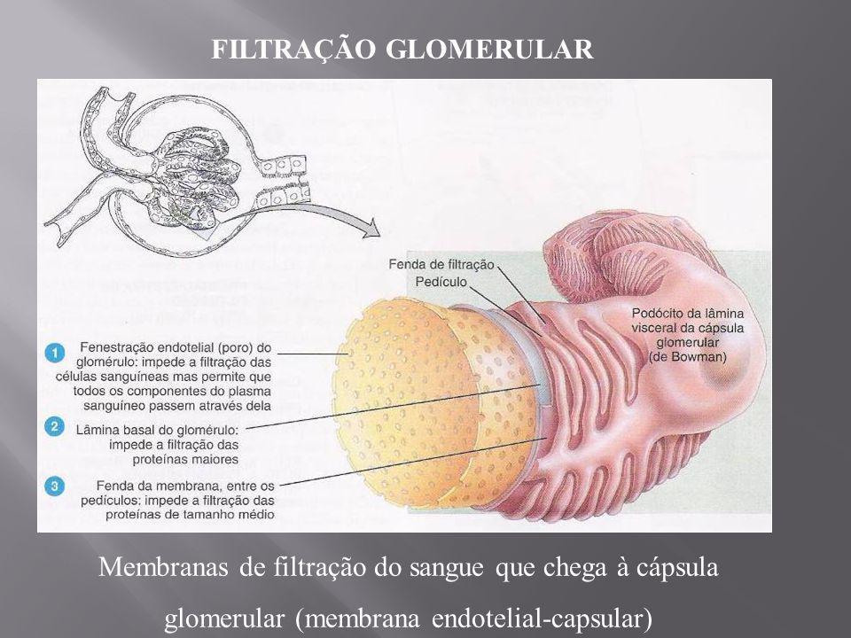 FILTRAÇÃO GLOMERULAR Membranas de filtração do sangue que chega à cápsula glomerular (membrana endotelial-capsular)