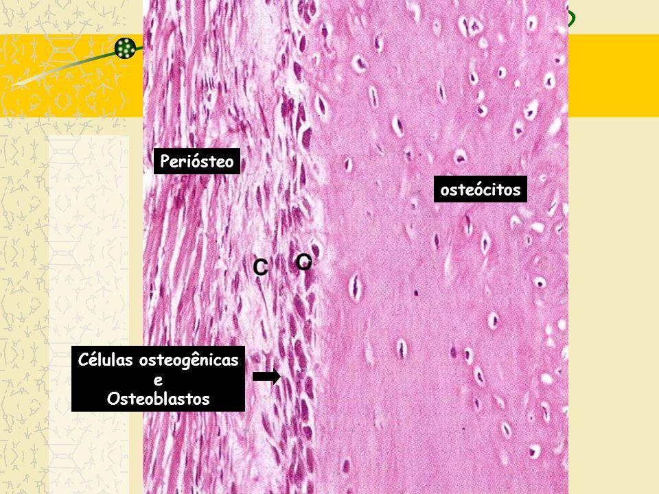 Periósteo osteócitos Células osteogênicas e Osteoblastos