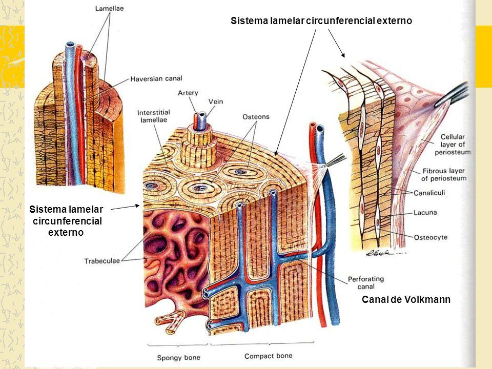 Sistema lamelar circunferencial externo