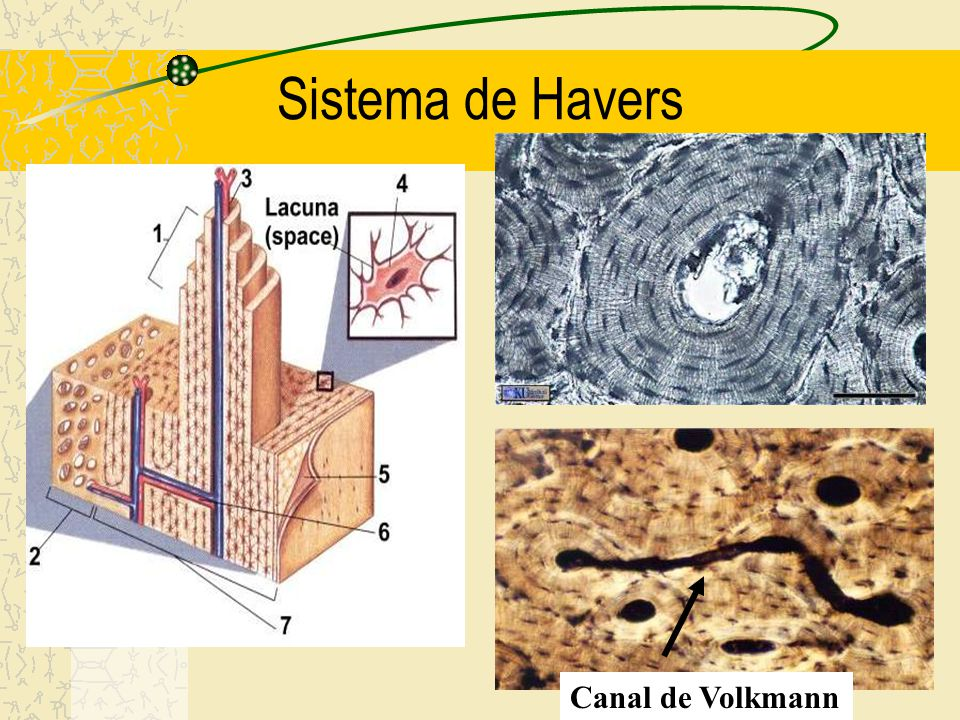 Sistema de Havers Canal de Volkmann
