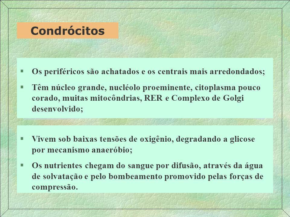 Condrócitos Os periféricos são achatados e os centrais mais arredondados;