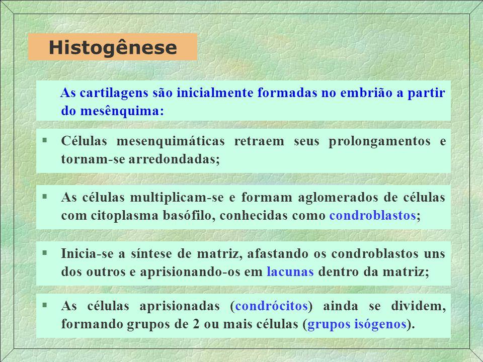 Histogênese As cartilagens são inicialmente formadas no embrião a partir do mesênquima: