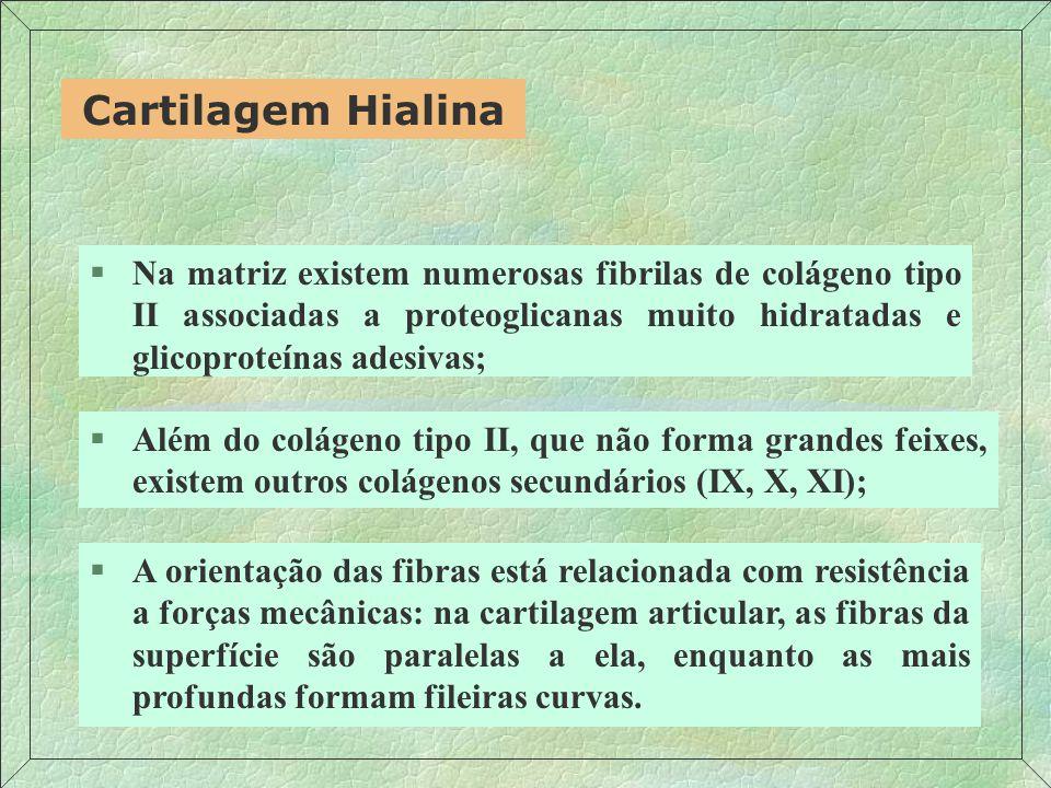 Cartilagem Hialina Na matriz existem numerosas fibrilas de colágeno tipo II associadas a proteoglicanas muito hidratadas e glicoproteínas adesivas;