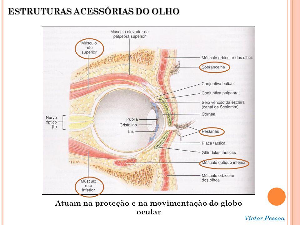 Atuam na proteção e na movimentação do globo ocular