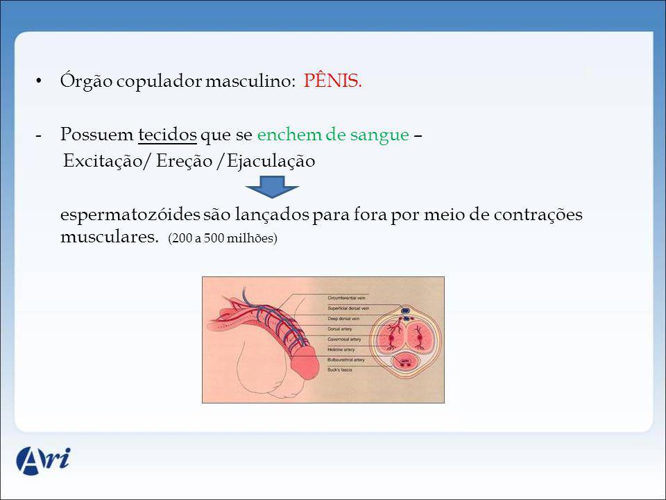 Órgão copulador masculino: PÊNIS.