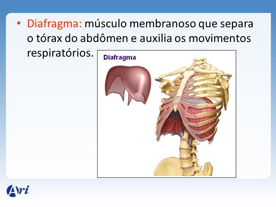 Diafragma: músculo membranoso que separa o tórax do abdômen e auxilia os movimentos respiratórios.