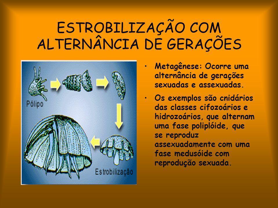 ESTROBILIZAÇÃO COM ALTERNÂNCIA DE GERAÇÕES