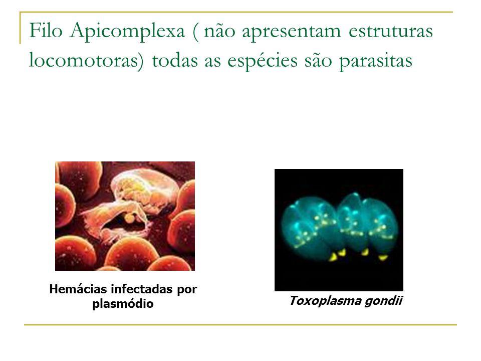 Hemácias infectadas por plasmódio