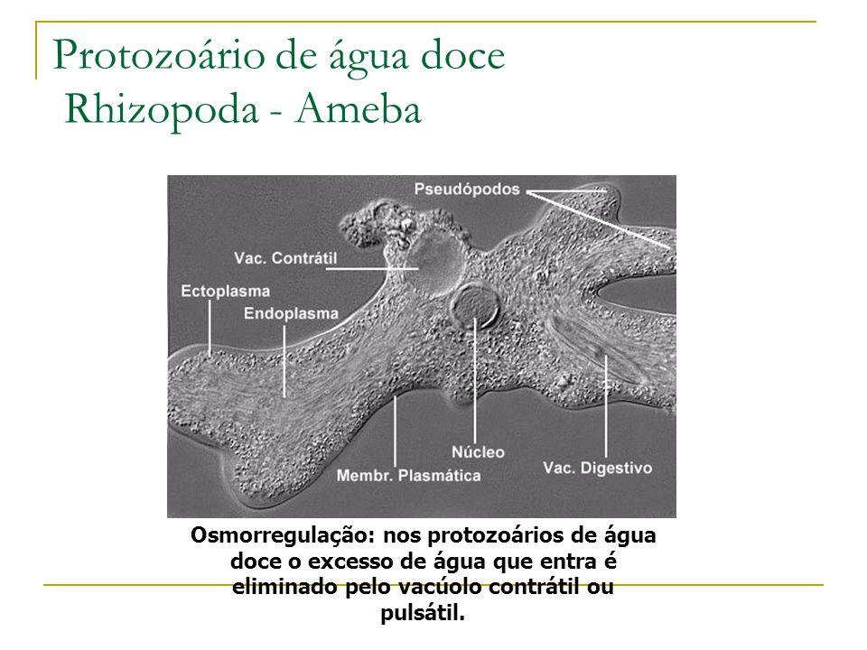 Protozoário de água doce Rhizopoda - Ameba